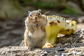 A small cute chipmunk with thick cheeks stands and eats sunflower seeds